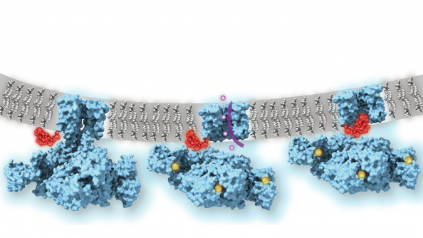 Calcium-gated potassium channel MthK in closed, open and inactivated states, from left to right.